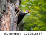 Adult Pileated Woodpecker...