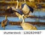 common crane birds in the... | Shutterstock . vector #1282824487