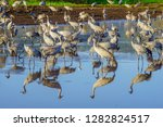 common crane birds in the... | Shutterstock . vector #1282824517