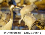 common crane birds in the... | Shutterstock . vector #1282824541