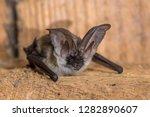 Grey Long Eared Bat  Plecotus...
