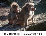 couple of baboons sitting on a... | Shutterstock . vector #1282908451