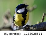 close up of a great tit  parus... | Shutterstock . vector #1283028511