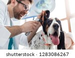 closeup of doctor examining dog'... | Shutterstock . vector #1283086267