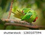 crimson fronted parakeet ... | Shutterstock . vector #1283107594