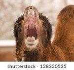 Closeup Of A Yawning Camel Wit...