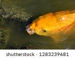 common carp the herbivorous... | Shutterstock . vector #1283239681