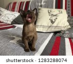 Stock photo cute burmese kitten with open mouth without teeth 1283288074