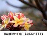 frangipani or plumeria or... | Shutterstock . vector #1283345551