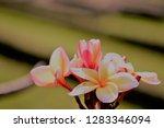 frangipani or plumeria or... | Shutterstock . vector #1283346094