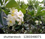 frangipani flowers in the... | Shutterstock . vector #1283348071