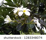 frangipani flowers in the... | Shutterstock . vector #1283348074