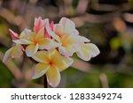frangipani or plumeria or... | Shutterstock . vector #1283349274