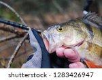 beautiful yellow perch in the... | Shutterstock . vector #1283426947