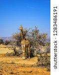 african giraffe  giraffa... | Shutterstock . vector #1283486191