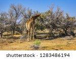 african giraffe  giraffa... | Shutterstock . vector #1283486194