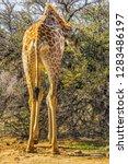 african giraffe  giraffa... | Shutterstock . vector #1283486197