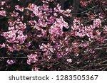 art transparent of blooming...   Shutterstock . vector #1283505367