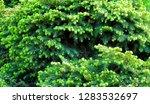 branch of christmas tree green... | Shutterstock . vector #1283532697