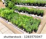 many plant seedlings in plastic ... | Shutterstock . vector #1283570347