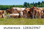 cows in the pasture | Shutterstock . vector #1283625967