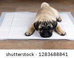 Stock photo puppy on absorbent litter accustom the dog to the toilet 1283688841