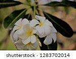 frangipani or plumeria or... | Shutterstock . vector #1283702014