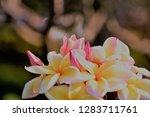 frangipani or plumeria or... | Shutterstock . vector #1283711761