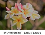 frangipani or plumeria or... | Shutterstock . vector #1283712091