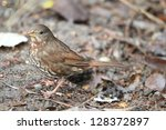 fox sparrow  passerella iliaca  ... | Shutterstock . vector #128372897