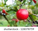 red apple growing on tree.... | Shutterstock . vector #128378759