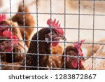 hen and rooster in cage at farm....   Shutterstock . vector #1283872867