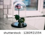 live rose in a blue glass flask ... | Shutterstock . vector #1283921554