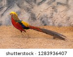 Colorful Male Golden Pheasant...