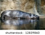 pygmy  hippopotamus - stock photo
