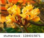 plumeria flower pink and white... | Shutterstock . vector #1284015871