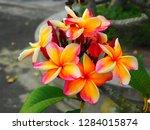 plumeria flower pink and white... | Shutterstock . vector #1284015874