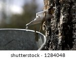 A Drop Of Maple Sap About To...