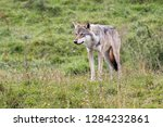 wolf in the nature | Shutterstock . vector #1284232861