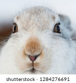Stock photo white mountain hare lepus timidus in scottish highland these hare change their fur colour white 1284276691