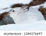 Stock photo white mountain hare lepus timidus in scottish highland these hare change their fur colour white 1284276697