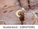 an arizona mountain goat... | Shutterstock . vector #1284370381