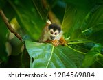 Squirrel Monkey  Saimiri...
