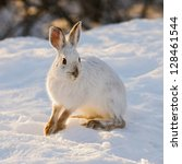 Snowshoe Or Varying Hare  In...