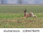 Stock photo the european hare lepus europaeus hare running in the field 1284678694