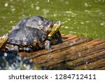 turtles in the sun on the lake ...   Shutterstock . vector #1284712411