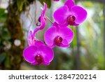 orchid in the botanical garden...   Shutterstock . vector #1284720214