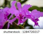 orchid in the botanical garden...   Shutterstock . vector #1284720217