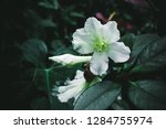 wild exotic tropical white... | Shutterstock . vector #1284755974