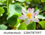 blooming lotus in the botanic...   Shutterstock . vector #1284787597